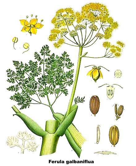 galbano Ferula galbaniflua tavola (440x535, 241Kb)