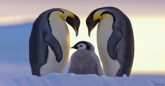 21-Incredibly-Beautiful-Penguin-Photos-That-Will-Warm-Your-Heart (700x367, 41Kb)