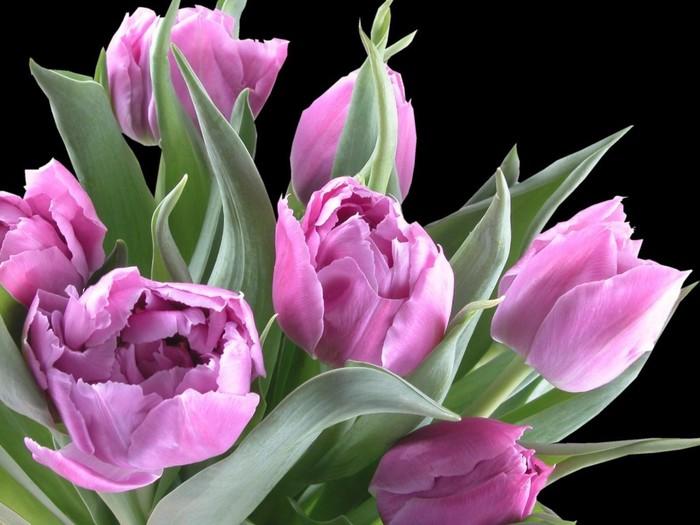 стихи фиолетовые тюльпаны выбрала