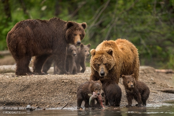 Mama-bear-teaches-cubs-to-fish-02 (700x467, 257Kb)
