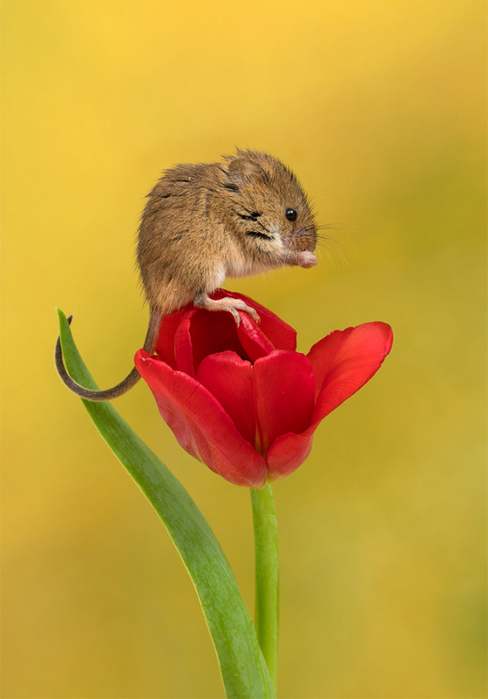 cute-harvest-mice-in-tulips-miles-herbert-5-5ad097d05a16c__700 (488x700, 209Kb)