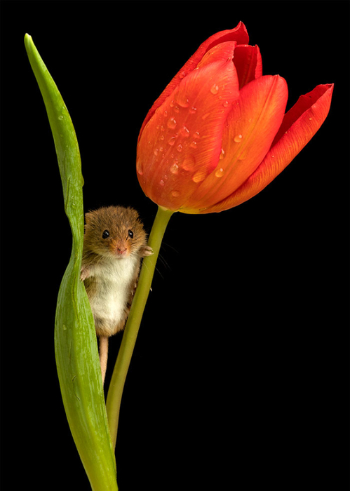 cute-harvest-mice-in-tulips-miles-herbert-7-5ad097d3546a9__700 (499x700, 163Kb)