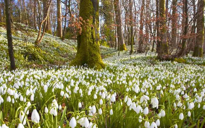 snowdrops_primroses_trees_forests_herbs_nature_spring_vacation_33714_3840x2400 (700x437, 496Kb)