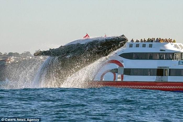 Фотограф дикой природы снял прыжок 20 тонного кита у побережья Австралии