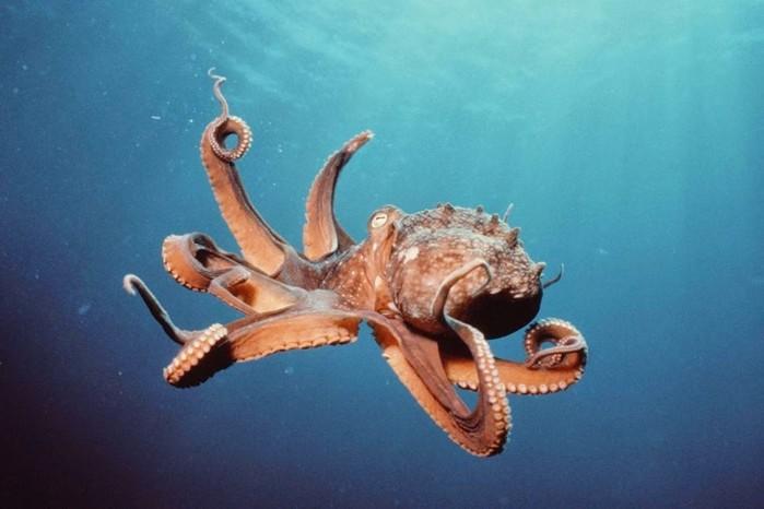 Спрут и осьминоги: большинство этих животных доброжелательно относятся к человеку