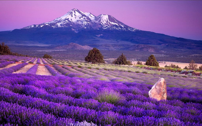 Lavender-fields2 (700x437, 388Kb)