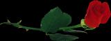 3906024_roza2_1_ (160x59, 9Kb)