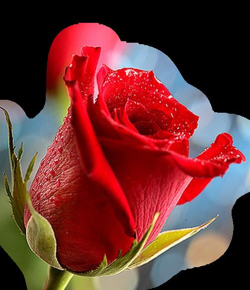 3906024_krasnaja_roza (503x584, 664Kb)
