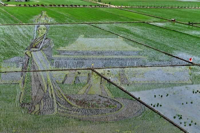 143323933 081218 1803 6 Картины на рисовых полях в Японии: оригинальный способ привлечения туристов