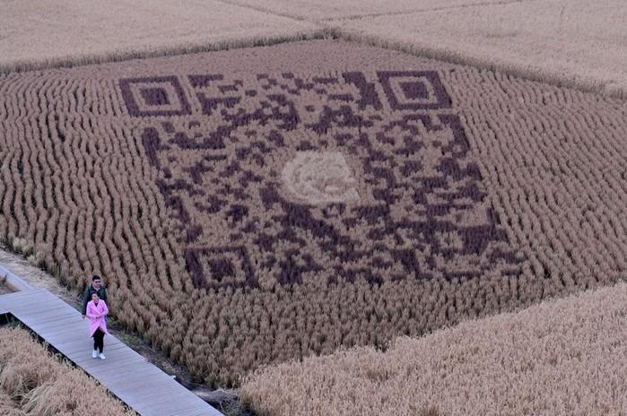 143323937 081218 1803 10 Картины на рисовых полях в Японии: оригинальный способ привлечения туристов