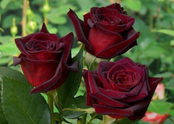 roza-2баккара4521 (600x428, 50Kb)
