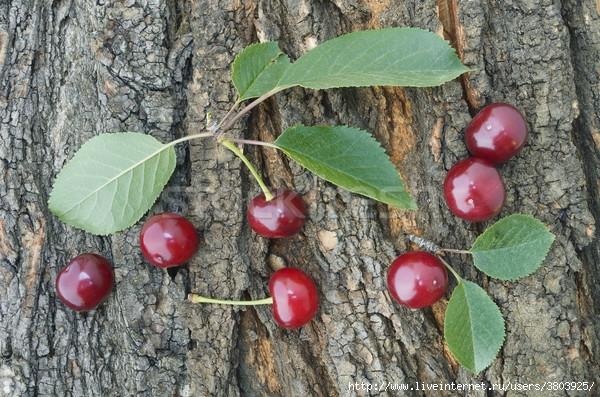 6428126_stock-photo-cherries-on-the-tree-bark (600x397, 278Kb)