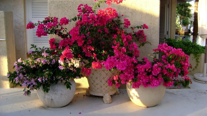 flower-pot-bougainville-flowers-pots-home-beauty-hd-348280-1024x576 (700x393, 350Kb)