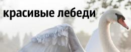алмазная вышивка лебедей