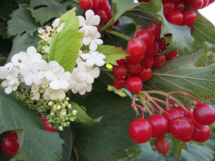 Фото цветущей калины красной