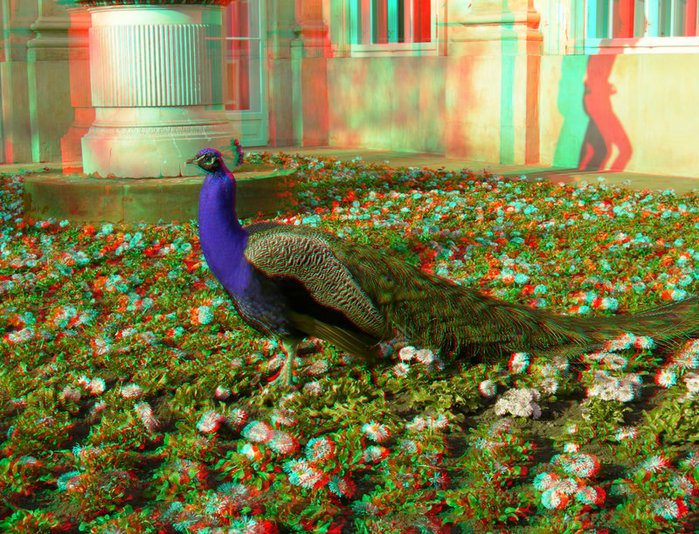 the_peacock_3d_anaglyph_by_yellowishhaze (700x534, 200Kb)