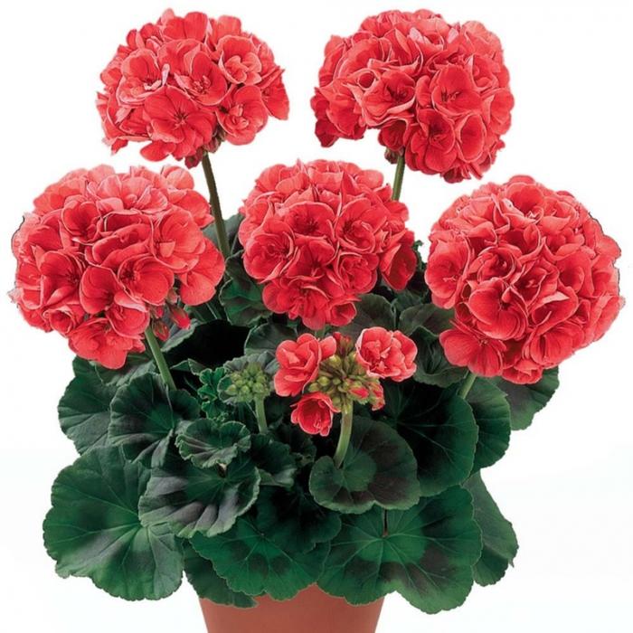 Уход за геранью (пеларгония)- Комнатные растения 34