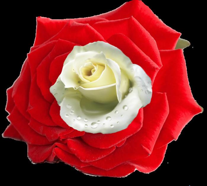 тобой фото символа англии алой розы составляющая