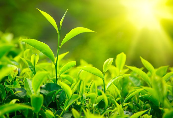 111591__leaves-tea-green-sun-light_p (700x476, 57Kb)