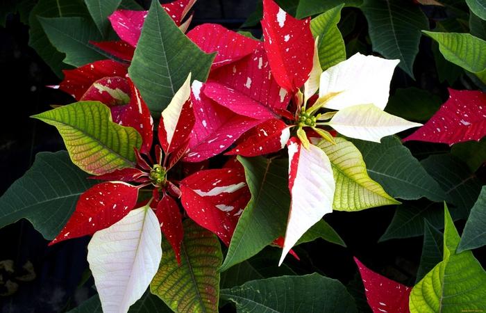 цветок рождественская звезда фото