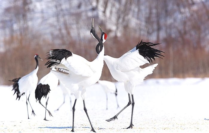 Red-Crowned-Crane-4 (700x444, 137Kb)