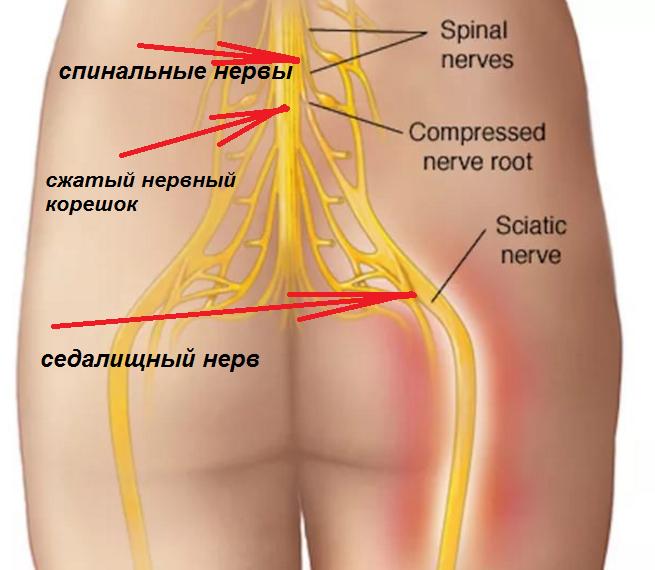 других седалищный нерв фото по скелету тагер странице автора