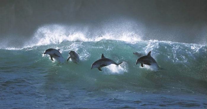 ss-100218-surfing-dolphins-10ss_ful (700x368, 193Kb)