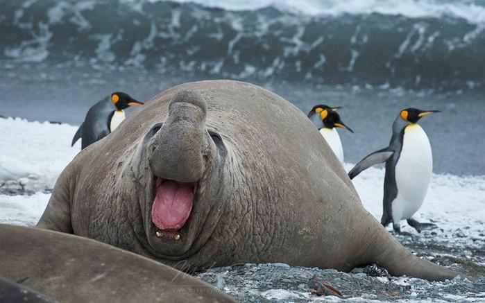 Морские слоны в Патагонии