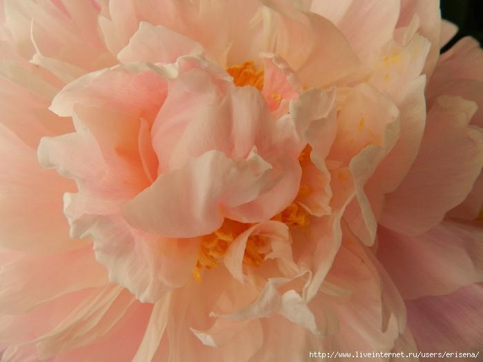 картинки персиковых пионов меня никогда