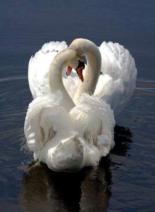 Новогодняя, картинки лебединая верность