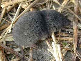265px-Southern_short-tailed_shrew (265x199, 65Kb)