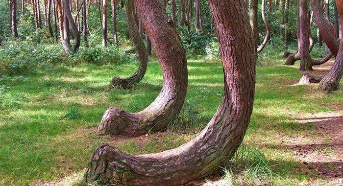 136009999 062317 1339 1 Застенчивость кроны: необычный природный феномен у некоторых деревьев