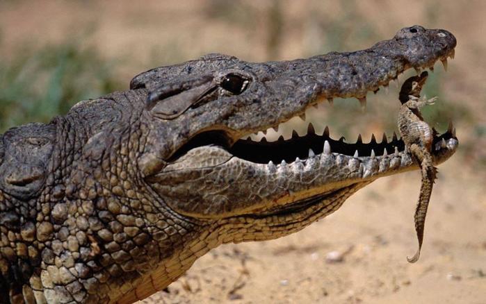Оказывается, что нильский крокодил— это два крокодила!