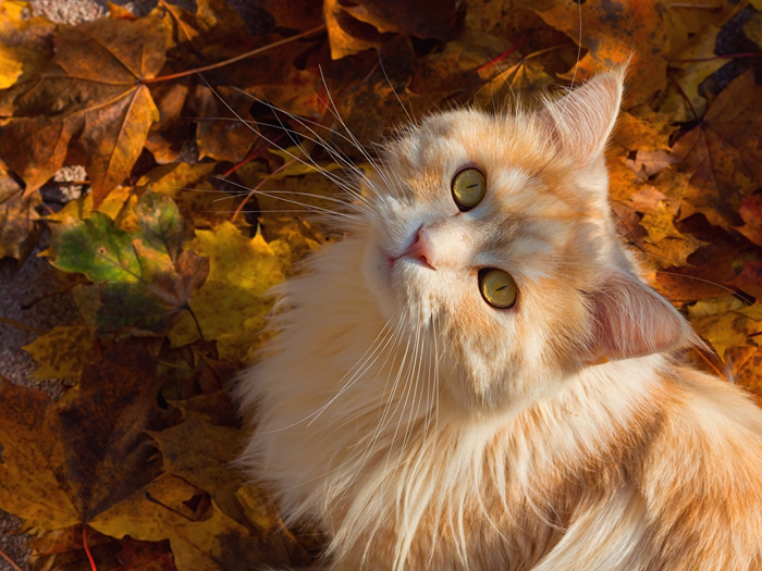 Cats_Autumn_Ginger_color_504192_1024x768 (700x525, 443Kb)