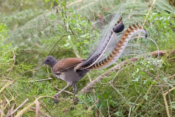 Танцующие лирохвосты: пение некоторых птиц просто завораживает...
