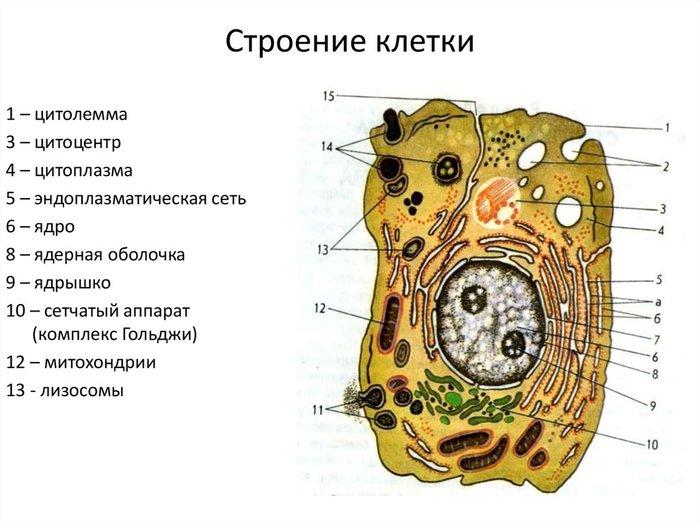 Структура клетки в картинках