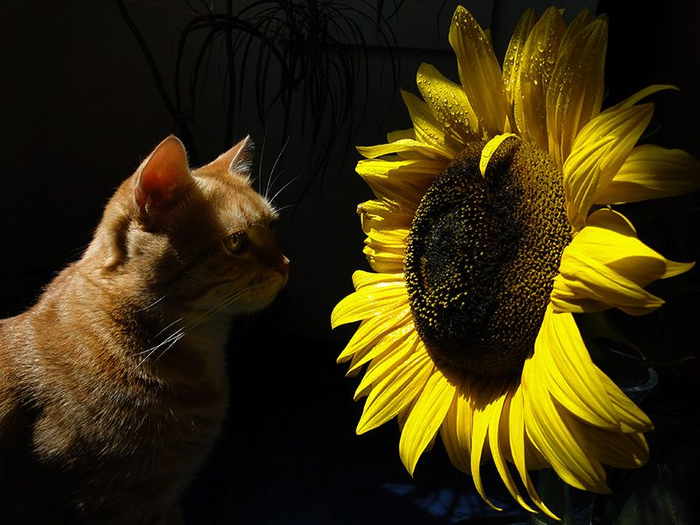 Cats_Sniffing_Flowers_21 (700x525, 364Kb)