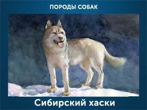5107871_Sibirskii_haski (300x225, 47Kb)