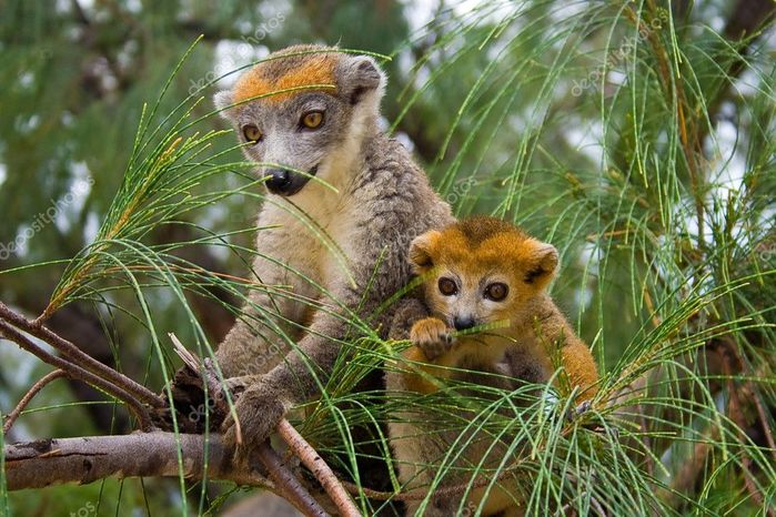 depositphotos_2938705-stock-photo-lemur-coronatus (700x466, 90Kb)