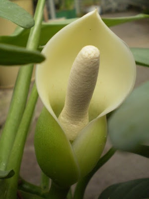 philodendron-hastatum-flower-close-own (300x400, 53Kb)