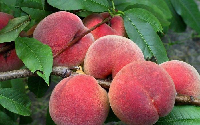 frukty-persiki-urozhaiперск4125 (700x437, 147Kb)