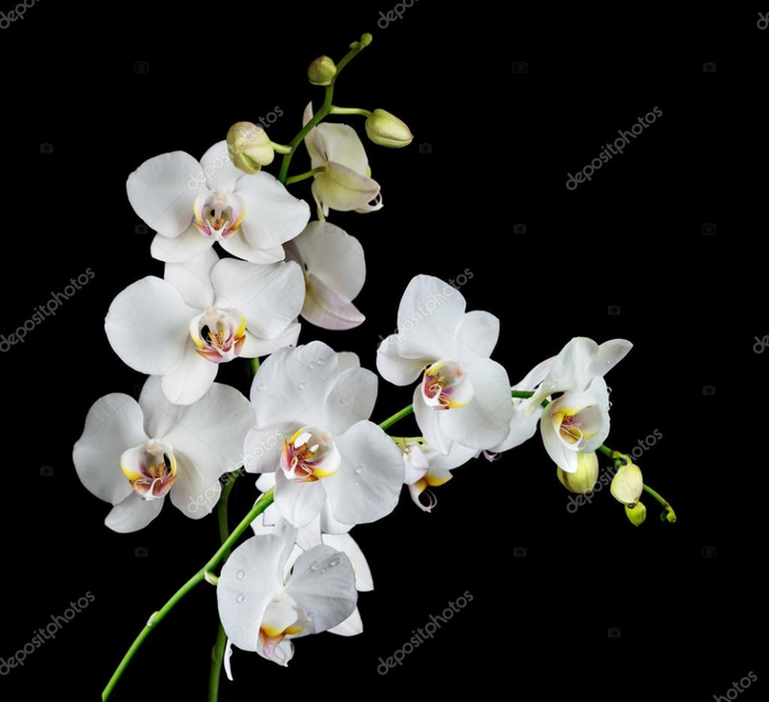 depositphotos_100431128-stock-photo-white-orchid-on-a-black (700x638, 172Kb)
