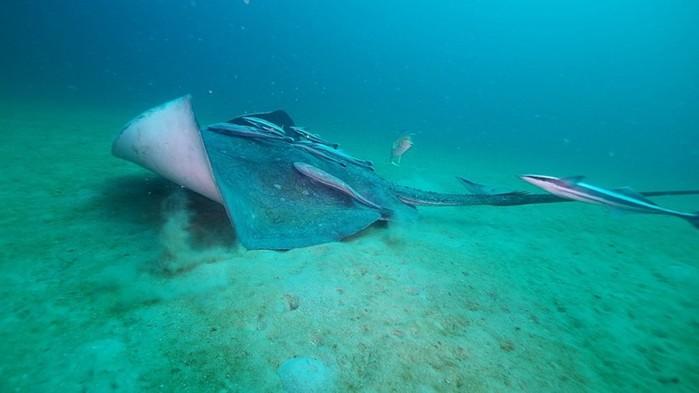 Ужасающий скат морской кот из Черного моря