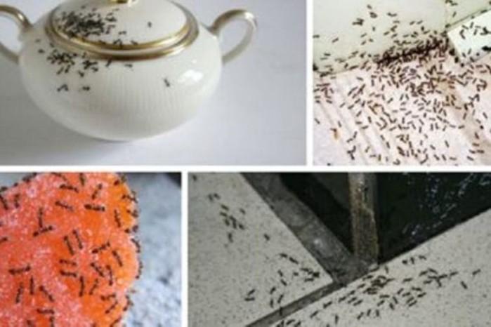 Как избавиться от муравьев: несколько простых рецептов
