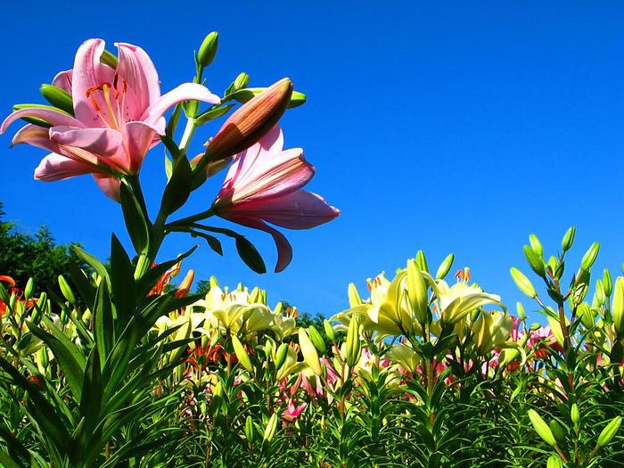 свой лилия полевая сад фото примером