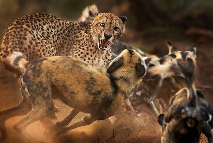 Самый страшный зверь: кровавые фотографии по настоящему дикой природы