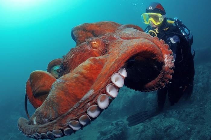 Чем опасен осьминог для человека?
