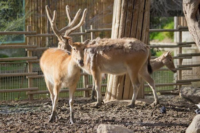Красивые животные, оставшиеся только в зоопарках