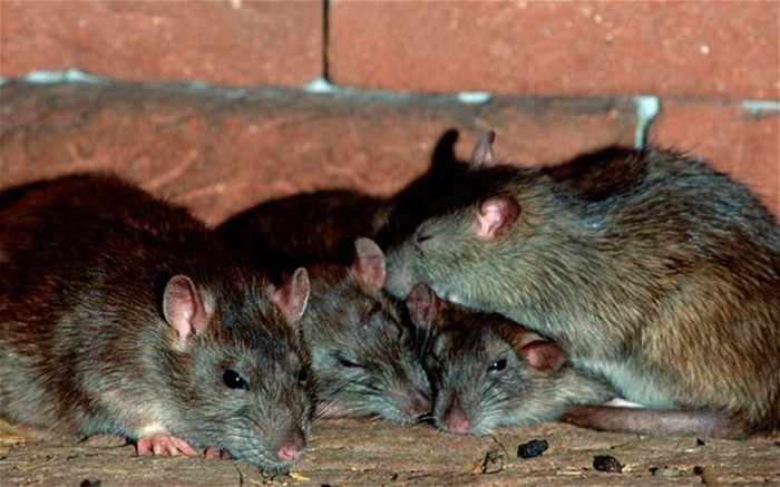 Морские суеверия: Крысы