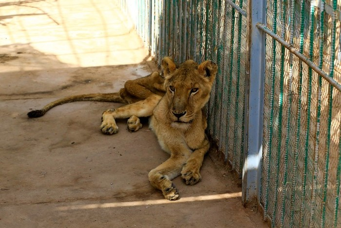 Активист обнаружил пять истощенных африканских львов